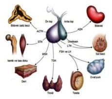 FSH Hormonun Görevleri